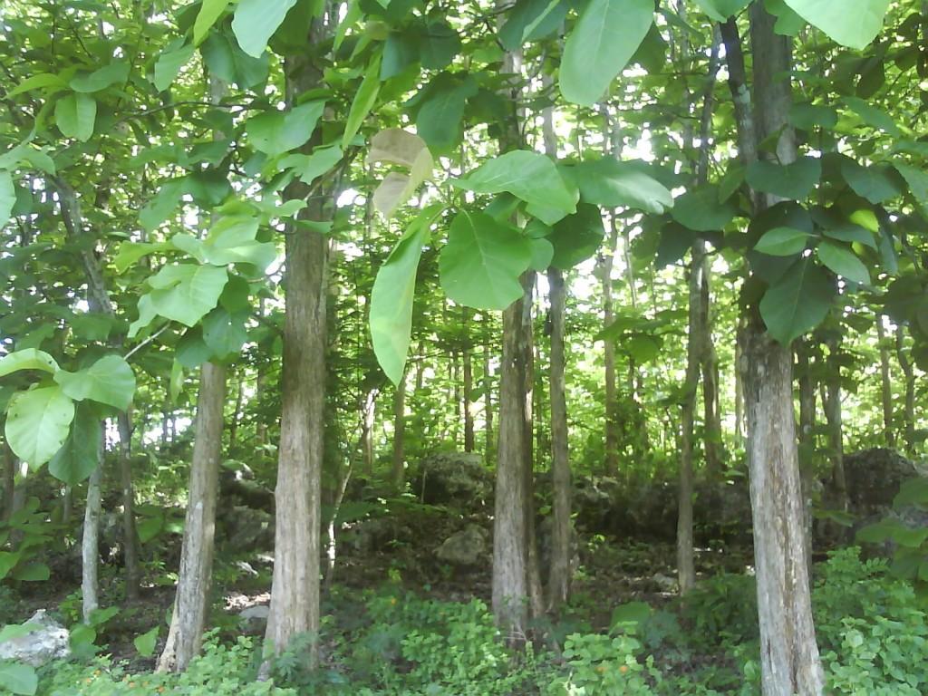Koleksi Gambar Sketsa Pohon Jati